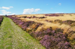 Moorland heather near Blubberhouses