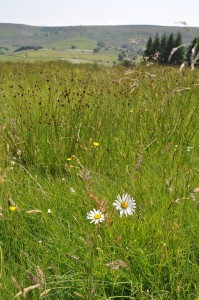 Wildflowers in a meadow near Hebden