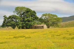 wensleydale meadow
