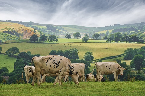 Cattle grazing in Wharfedale Yorkshire
